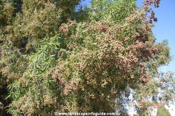 full_Conocarpus lancifolius