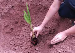 full_tree plantation